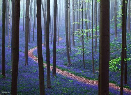 Mùa xuân trong rừng Hallerbos ở Bỉ.
