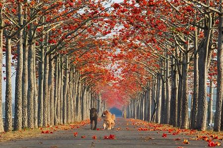 Con đường ngập sắc hoa đỏ ở Đài Loan