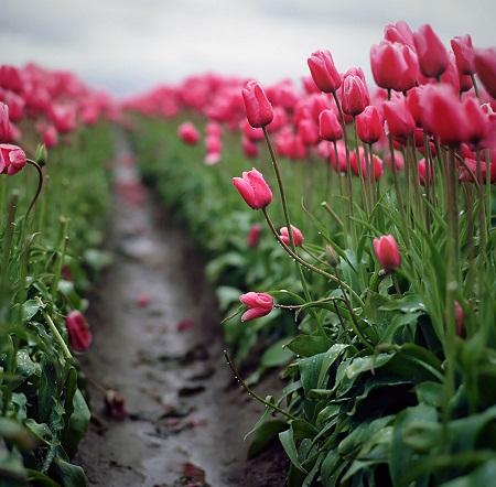 Mùa xuân ở thành phố Woodburn, bang Oregon, Mỹ.