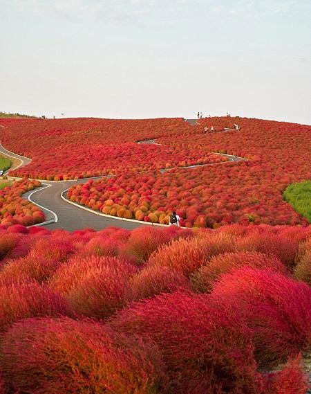 Công viên Hitachi ở Nhật Bản.