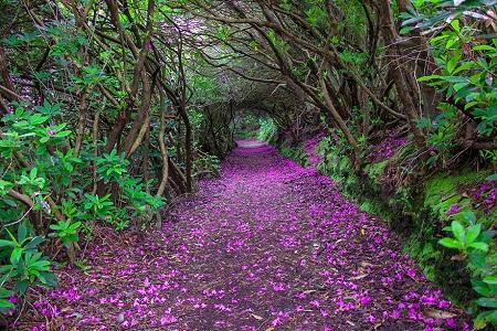 """""""Con đường đỗ quyên"""" trong công viên Reenagross, thị trấn Kenmare, Ireland."""