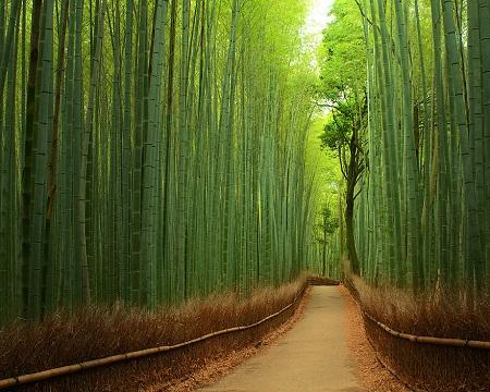 Lối đi trong rừng trúc ở Kyoto, Nhật Bản.