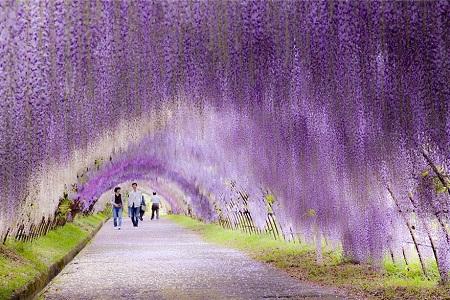 """""""Đường hầm"""" dưới hàng cây đậu tía ở Nhật Bản."""