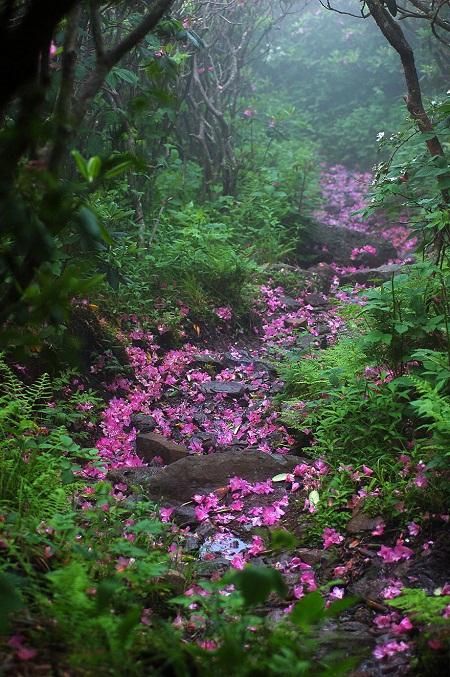 Đường mòn đỗ quyên trên ngọn núi Rogers, bang Virginia, Mỹ.