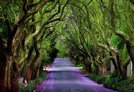 Con đường ngập bóng lan dạ hương.