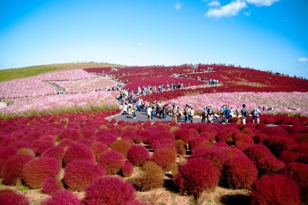 Công viên Hitachi Seaside, Nhật Bản