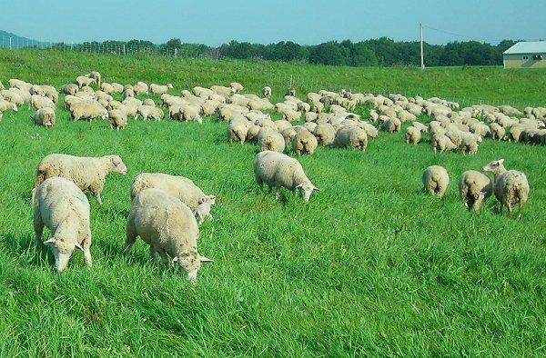 Có thể nhờ vào việc chăn nuôi cừu phổ biến tại các vùng nông thôn, miền núi để cải thiện việc phát sóng Wi-Fi