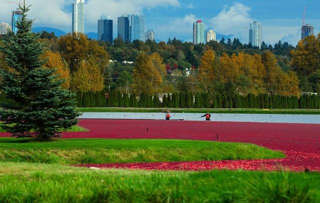 Khu đầm lầy nhuộm màu đỏ ối từ những trái việt quất chín căng mọng