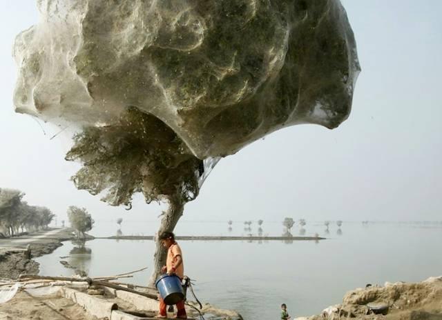Hình ảnh ác mộng này như bước ra từ một cuốn sách sau khi được photoshop. Trên thực tế, đây là ảnh một đàn nhện hàng triệu con leo lên cây và giăng tơ nhằm tránh một trận lụt chuẩn bị xảy ra ở Pakistan.
