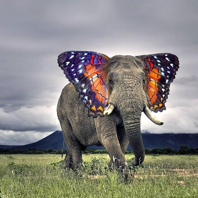 Voi tai bướm – một sự kết hợp độc đáo