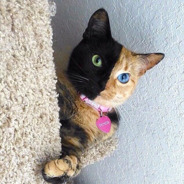 Chú mèo hai mặt có tên gọi Venus, chào đời năm 2009. Đây là một trong những chú mèo có ngoại hình lạ nhất thế giới với gương mặt được chia làm hai nửa màu sáng tối khác nhau. Một mặt của Venus có màu lông đen, mắt xanh lá cây; nửa còn lại màu vàng gừng với mắt xanh da trời.