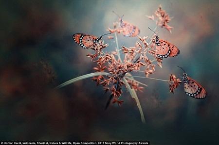Những cánh bướm hồng. (Ảnh: Harfian Herdi)