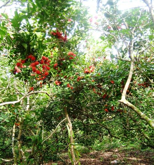 Mùa chôm chôm chín đỏ trong vườn.