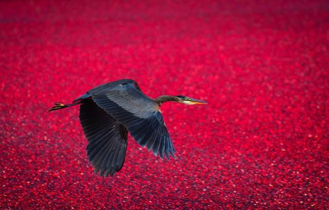 Một chú chim sải cánh bay qua vùng đầm lầy việt quất