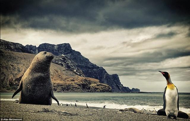 Cuộc sống hoang dã ở St Andrews Bay, nơi con hải cẩu voi đang đối mặt với chim cánh cụt vua – một loài cánh cụt có trọng lượng lớn thứ nhì, chỉ đứng sau chim cánh cụt hoàng đế.