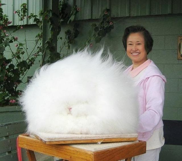 Đây hoàn toàn không phải là sản phẩm của chỉnh sửa. Nếu nhìn kỹ bạn sẽ nhận ra đó là một chú thỏ thuộc giống Angora.