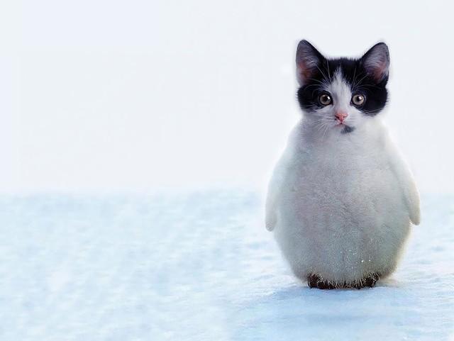Mèo cánh cụt