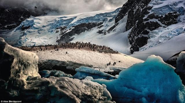 Bầy chim cánh cụt Gentoo đang xếp hàng trên một tảng đá trắng ở Gerlache Strait, Nam Cực. Đây là loài chim thuộc họ Spheniscidae với tốc độ bơi đạt 36 km/h.