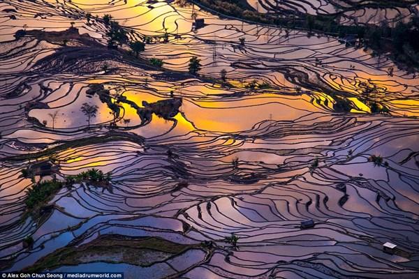 Cả cánh đồng lúa nhưng một tấm gương vỡ khổng lồ.