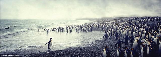 Lãnh thổ riêng của chim cánh cụt vua tại Nam Georgia – nơi là nhà chung của khoảng 200.000 con.