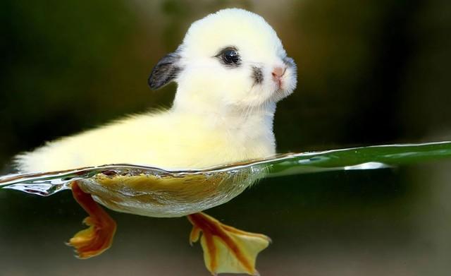 Đầu thỏ đuôi vịt