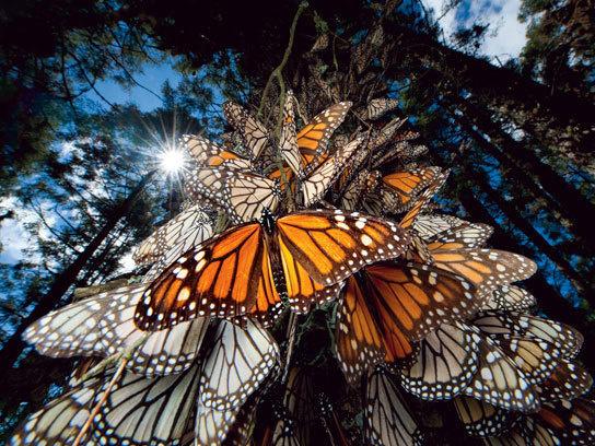 Giây phút nghỉ ngơi. Bầy bướm Monarch đậu chi chít trên một gốc cây ở Mexico