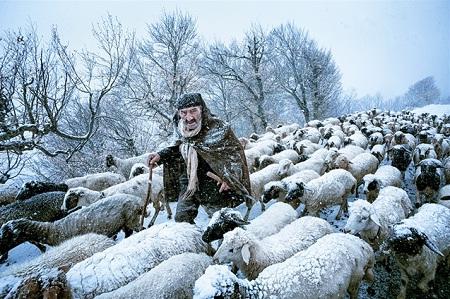 Ông lão chăn cừu đang cùng đàn cừu đương đầu với bão tuyết ở miền bắc Iran. (Ảnh: Saeed Barikani)