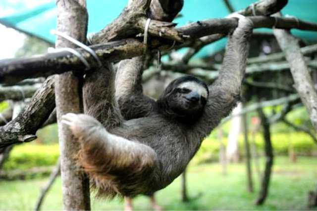 Sloth Sanctuary ở San Jose. (Ảnh: Getty Images)