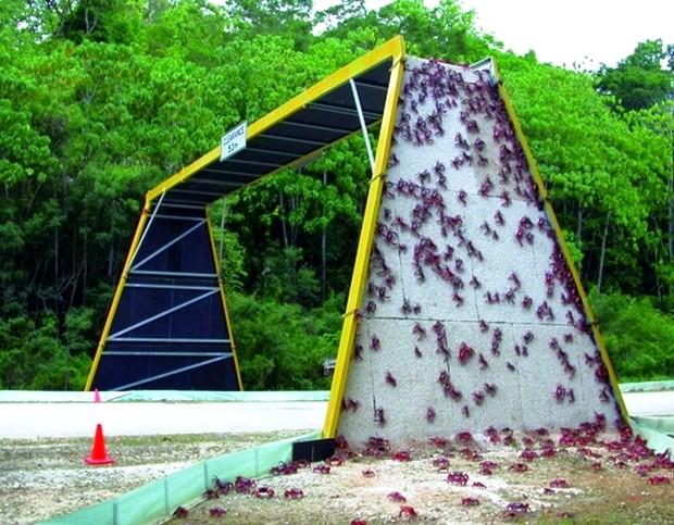 Cây cầu giúp những chú cua qua đường trên Đảo Giáng sinh, Australia.