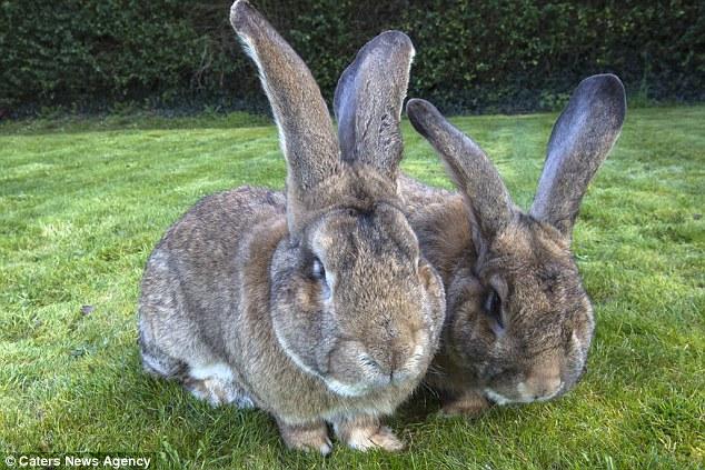 Hai chú thỏ có chiều dài và cân nặng tương đương một chú chó Béc-giê.
