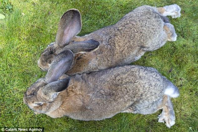 Hai chú thỏ được cho là to nhất thế giới hiện nay với chiều dài hơn 1m