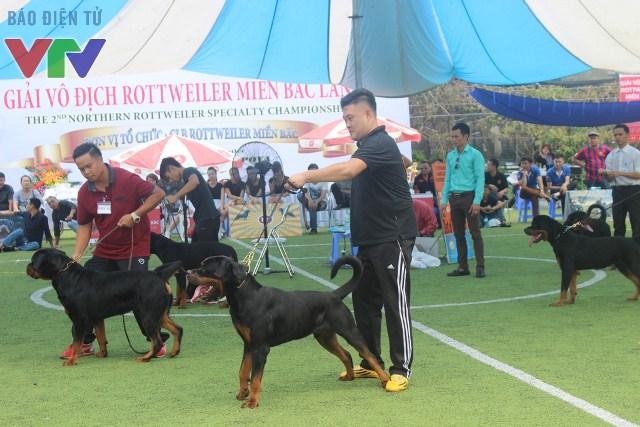 Hạng mục dành cho chó trẻ và chó trưởng thành rất được công chúng chú ý bởi hầu như các chú chó đều có thế đứng và vóc dáng đẹp