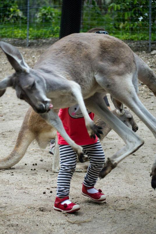 Em bé bị kangaroo bất ngờ nhảy vào che mất. Ảnh: imgur.com