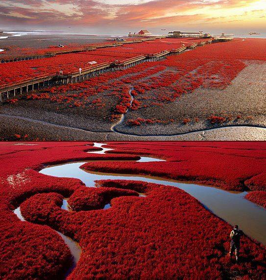 Thay vì được bao phủ bởi cát trắng, bãi biển đỏ Bàn Cẩm ngập trong sắc đỏ của một loại cỏ biển dại có tên là Sueda.