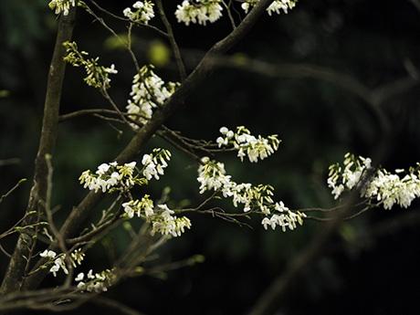 rong khi đó, có những cây sưa trường THCS Giảng Võ (Ba Đình, Hà Nội), cây sưa bên Hồ Tây... lá đã trút. Màu hoa trắng lại nổi bật với màu nâu già nua của các nhánh, cành.