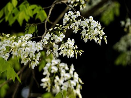 Một cây sưa bên vườn hoa Mai Xuân Thưởng có màu hoa trắng càng thêm nổi bật trên nền lá xanh nõn.