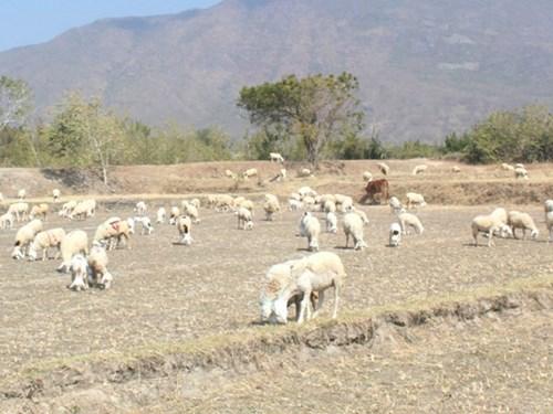 Đàn cừu ở Ninh Thuân trước nguy cơ bị đói do hạn hán. (Ảnh: Thiện Nhân/Kinh tế nông thôn)