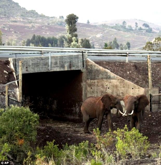 Đường hầm cho voi, Kenya.
