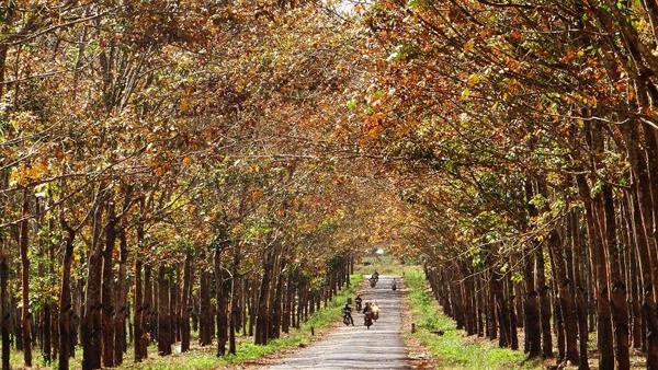 Cao su mùa lá rụng ở Đồng Nai thu hút khá nhiều bạn trẻ đến tham quan. Ảnh: Hồng Thiên.