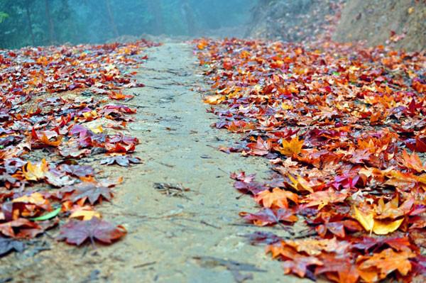 Mùa đông, rừng phong buông lá đỏ rơi rụng lả lướt trong rất đẹp. Ảnh: Afamily.