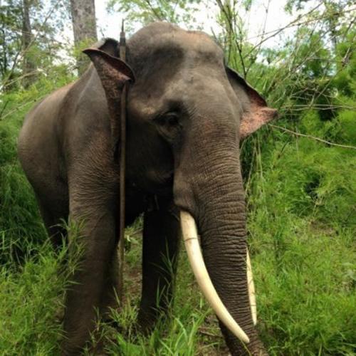 Con voi bị kẻ gian cưa trộm gần đứt lìa ngà (Ảnh: Dân trí)