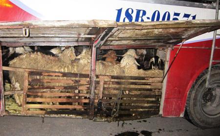 Phân, nước thải của dê và cừu đổ xuống gầm xe, bốc mùi hôi thối. (Ảnh: Dân trí)