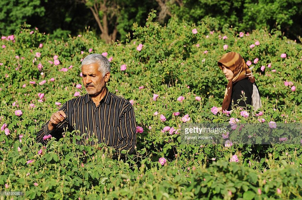 Hái hoa hồng ở làng Qamsar.
