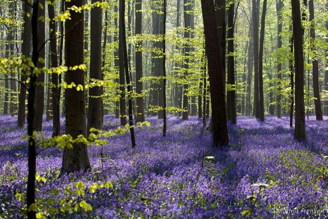 Bất cứ ai đến rừng Hallerbos vào đầu hè đều không khỏi ngỡ ngàng trước vẻ đẹp có một không hai.