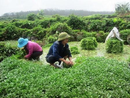 Thu hoạch rau xà lách xoong ở xã Gio An, huyện Gio Linh, tỉnh Quảng Trị. (Ảnh: baoquangtri.vn)