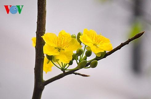 Mai vàng Yên Tử có những đặc điểm khác biệt với mai miền Nam, lộc xanh, có mùi thơm nhẹ nhàng.