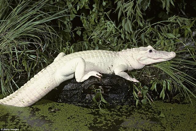 Thiếu sắc tố trong da khiến loài cá sấu mang bộ da khác thường và rất hiếm  gặp trong tự nhiên. Người ta có thể thấy 4 con cá sấu trắng rất ...