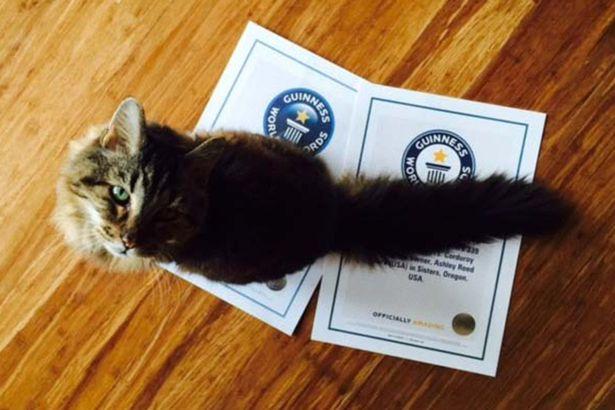 Kỷ lục Guiness ghi nhận Corduroy là chú mèo già nhất thế giới.