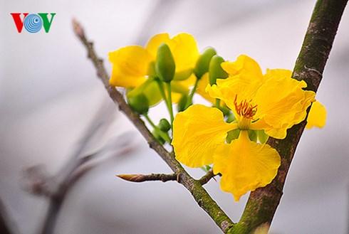 Mai vàng Yên Tử có giá trị lớn về văn hóa, tâm linh gắn với thiền phái Trúc Lâm.