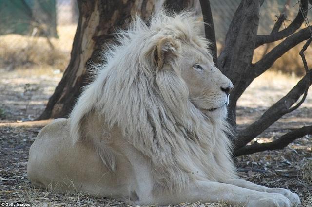 Những con sư tử trắng không phải là bạch tạng. Chúng từng xuất hiện ở khu  vực Timbavati của Nam Phi nhưng hiện tại phần lớn được bảo vệ trong điều  kiện ...